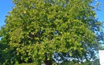 Nuisance London Plane Tree – Hailsham, East Sussex