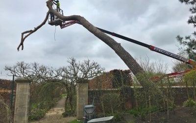 Storm Damaged Pines