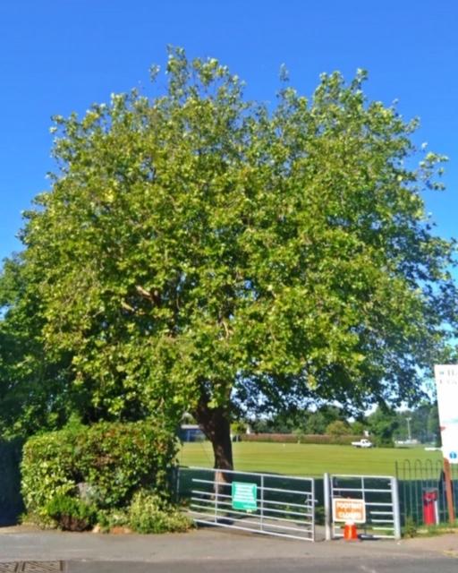 London Plane Tree before work